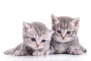 Two adorable grey Scottish kittens