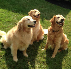 Three Irish Setters