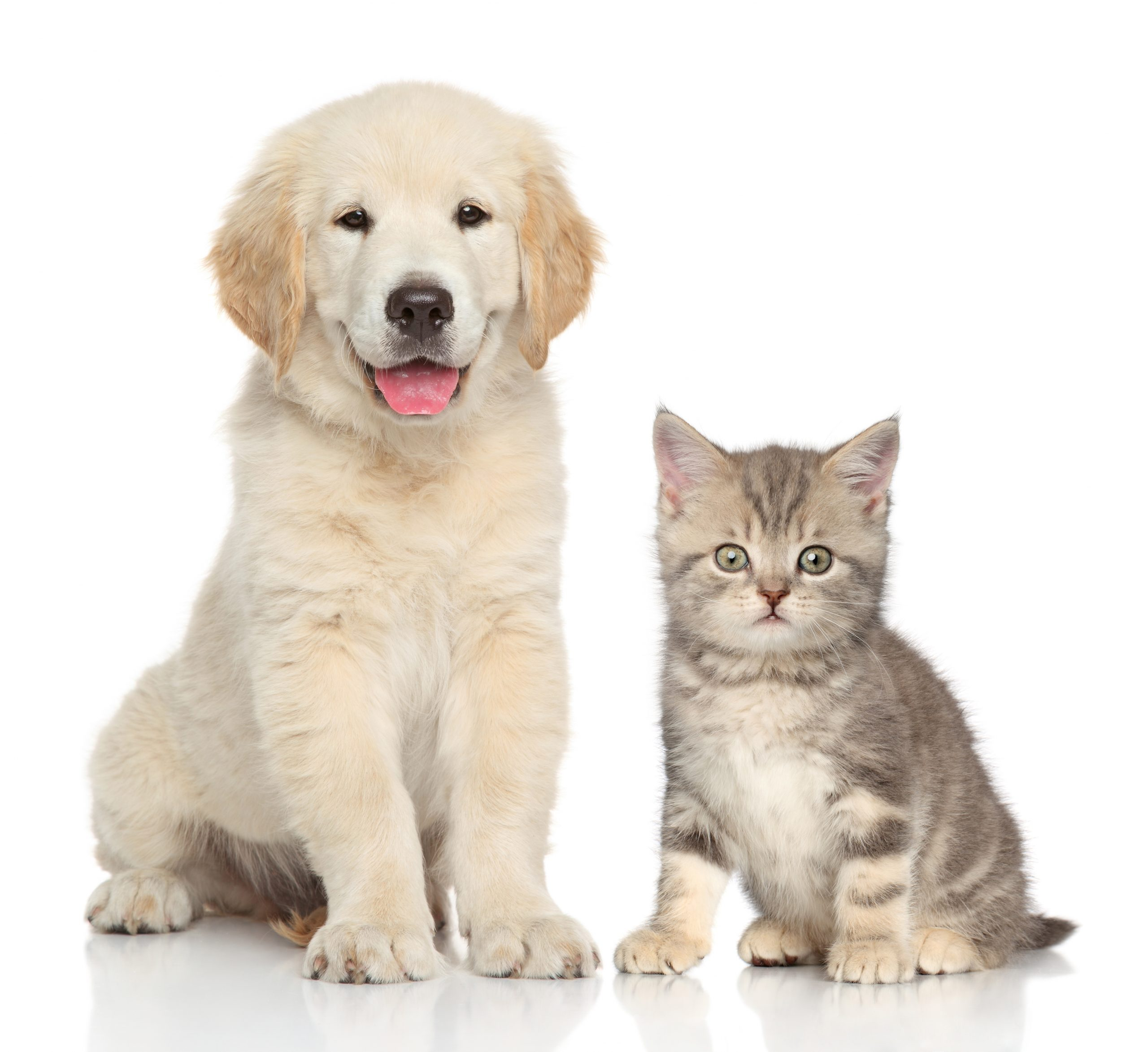 cream puppy and kitten pose for camera