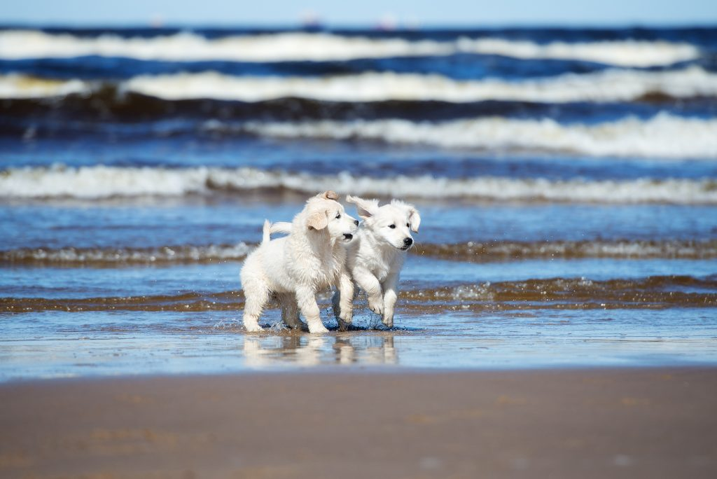 Two Golden Retriever Puppies Playing On A Beach Pets And Gmos